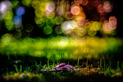 Disco Snail (EXPLORED 27.07.16) (Bokehschtig (back, but catching up slowly)) Tags: dof bokeh bubbles circles snail nature light vintage vintagelens meyergrlitz trioplan28100 trioplan f28 100mm color colour colors grass gras schnecke ediblesnail weinbergschnecke sony a7 sonya7