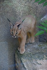Bb caracal (Johanna Viala) Tags: menageriedujardindesplantes animal caracal bebe