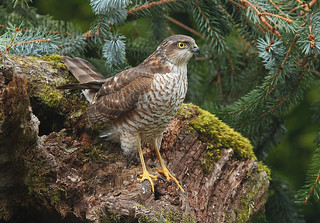 Female SPARROWHAWK....Powys   ..Last one for a while....Press L