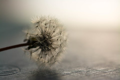Lazy Day (Captured Heart) Tags: dandelionseeds dandelion wish wishes makeawish potential softness