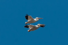 Synchronized (martytdx) Tags: ca july sanfrancisco birding birds pelican americanwhitepelican pelecanuserythrorhynchos pelecanus pelecanidae coyotehillsregionalpark fremont