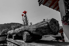 Red flowers on a wooden cannon (Gian Floridia) Tags: bz umes bienne coloreselettivo legno red rosso selectivecolour tronco wood wooden