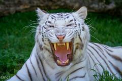 Tigresse (Oric1) Tags: big cat canoneos7d france franceoric1 oric1 tamron150600 tregomeur animal breizh bretagne brittany ctesdarmor flin tigreblanc zoo zooparc bigcat