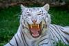 Tigresse (Oric1) Tags: big cat canoneos7d france franceoric1 oric1 tamron150600 tregomeur animal breizh bretagne brittany côtesdarmor félin tigreblanc zoo zooparc bigcat 7d eos canon breton tamronsp150600mmf563divcusd jeanlucmolle