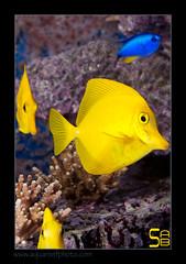 ALAIN2flav6637 (kactusficus) Tags: marine reef aquarium alain captive ecosystem rcifal acanthuridae chirurgien surgeonfish tang zebrasoma flavescens yellow jaune