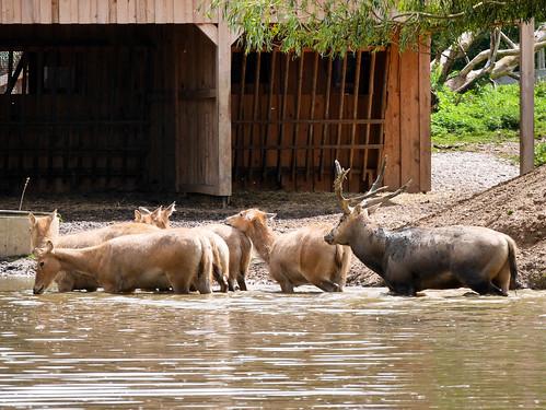 Tierpark Herberstein - Hirsch