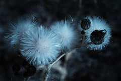 Seed Heads (fish95th) Tags: canong12 infrared seeds plant nature