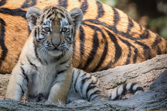 Mama bewachen / Mama guard *EXPLORED 20160826 477 dropped* (gosammy1971) Tags: amurtiger sibirischer tiger panthera tigris altaica raubtier groskatze katze cat predator orange schwarz weiss black white cub welpe welpje baby portrait animal tier natur nature flickr new neu august 2016 wildcat eyes augen säugetier zoo duisburg dasha elroi odense hellabrunn munich münchen mama mother guard tigre wildcatworld fantasticnature flickraward blinkagain naturesprime tamron yellow explored