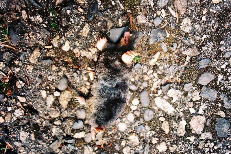 Mole Rat.