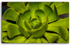 Lotus shaped cactus (Aeonium) in Palani hills (KS Photography!) Tags: henandchicks henandchickens henandbiddies rosette cactus lotus plant flower succulentplant crassulaceae green thehensandchickens leaves decoration fleshy ornament sharp nature deformation perennial depthoffield details abstract macro micro season detailed texture garden closeup tropical interior growth beauty leek houseplants beautiful hen chicks stonecrop beautyinnature natural outdoor kodaikanal tamilnadu india aeonium subtropical plantae ngc