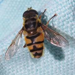 Doosdhoofd Zweefvlieg - Myathropa florea (Wontolla65) Tags: zweefvlieg