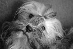 Chewbacca - WHAT? (STTH64) Tags: havanese bichon dog chewbacca pet animal look