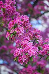 Spring colors of 2015 -4 (Z!SL) Tags: nyc newyorkcity flowers newyork nature brooklyn spring dof bokeh sony depthoffield bokehwhores bokehwhore sonyphotographing minoltaemount sel50f18 nex5r