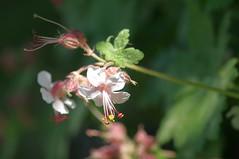 Storchenschnbel ( eulenbilder - berti ) Tags: garten blhen storchenschnabel imgarten