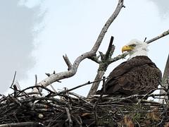eaglepe9 (GWP Photography) Tags: animal nikon nest eagle outdoor pennsylvania adler baldeagle pa coolpix eaglesnest aquila brd orel guia aigle waynecounty guila  orze milanville rn nestingpair     upperdelawareriver  waynecountypa coolpixp600