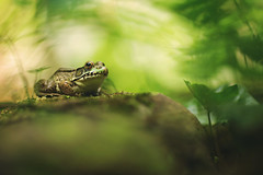 Paradise (Tammy Schild) Tags: plants green nature rock closeup canon moss spring wildlife amphibian frog 135l