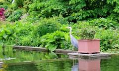 Godzilla (farmspeedracer) Tags: park green bird heron nature germany spring pond may