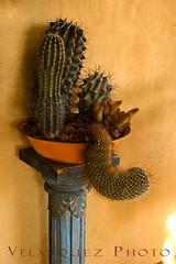 Cactus on a pedestal (velasquez_photo) Tags: california cactus desert joshuatree oasis planter pedestal eddievelasquez velasquezphoto