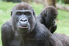 Burgers Zoo Arnhem 2015 :  Gorilla (Hermen Goud Photography) Tags: animals zoo gorilla arnhem dieren dierentuin zoogdieren burgersdierenpark