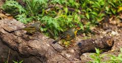 Red Billed Lieothrix (AnilGoyal Pixelart) Tags: india bird beauty birds outdoor background indian birding uttaranchal nainital floraandfauna avifauna uttarakhand indianbirds sattal avianfauna anilgoyalpixelart redbilledlieothrix