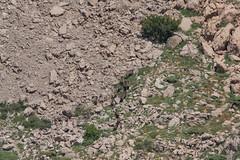 Wild boar (katyarud) Tags: animals israel  hermon wildboar     susscrofa