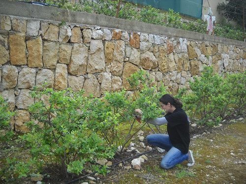 Sarah Inspect Blueberry Plants getting ready for season a Mar 25, 2015