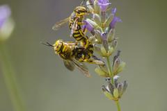 _MG_1863_1 (Arthur Pontes) Tags: blur flower macro nature insect natureza small flor bee abelha inseto micro pequeno lavanda