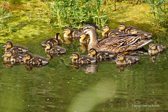 Mother and 15 ducklings (DirkVandeVelde Back) Tags: france fauna duck europa europe frankrijk nordpasdecalais bercksurmer eend biologie europ