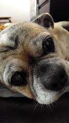 Close-up of a dog's face (mycat42) Tags: dog wrinklydog pug chihuahua tandog