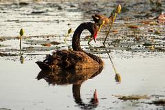 Black Swan at Sunrise (Teale Britstra) Tags: policecreek gladstone centralqueensland australia australian native nature wildlife outdoors canon 600dcanon600d t3i 55250mm kitlens macrokosm macrokosmcom cygnus atratus cygnusatratus blackswan black swan birds birdphotography