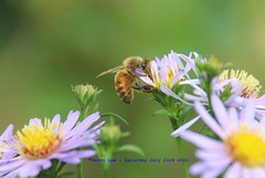 You Keep Me Hanging On..... (law_keven) Tags: honeybees bees bee catford london england garden flowers