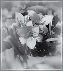Lillies. (lizzieisdizzy) Tags: blackandwhite monochrome outside outdoors garden border plant lillium rhizomes leaf leaves group bunch beddingborder bokeh bouquet