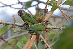 Maroon-faced Parakeet - tiriba-de-orelha-branca - Pyrrhura leucotis