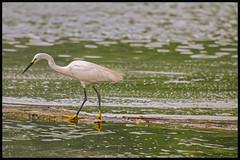 Little Egret in Breeding Plumage (bodhijobs) Tags: egret little birds ef100400mm 7d lodi garden ndmc delhi