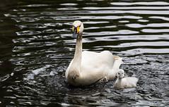 Vater und Kind (Anja van Zijl) Tags: water animal waterbird schwan wasservogel zwergschwan