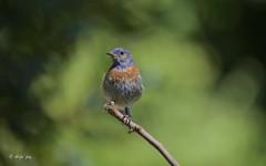 Western Blue bird (Shijo and Pooja Photography) Tags: westernbluebird songbird wild nature california birdsofnorthamerica