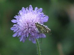 IMG_8099 (germancute) Tags: summer plant flower nature butterfly outdoor sommer pflanze meadow wiese blume wildflower schmetterling