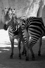 front and back/ black and white (cinzia_chiabo') Tags: animali zebre bn