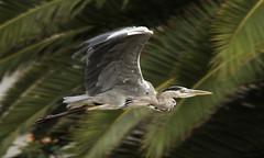 Garza Real / Grey Heron / Ardea Cinerea (vic_206) Tags: bird flight vuelo canoneos7d canon300f4liscanon14xii garzareal greyheron ardeacinerea