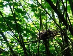 Long Gone - Nesting (WYEEXPLORER) Tags: nestconstruction superior nest pigeon woodpigeon intricate labyrinthine tanglednest twigs twisting home birdshome