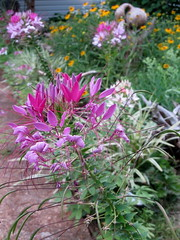 Pink spiders (Mulch Obliged) Tags: cleome rudebeckia