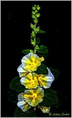 Just Bloomed III (lukiassaikul) Tags: creativephotography nature flora flowers hollyhocks gardenflowers hdr colour