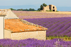 Provence - Valensole (beppeverge) Tags: travel summer france flower color nature rural countryside purple violet july natura rows bloom lavander fields flowering blossoming provence lavande herbal fragrance flourish aroma blooming provenza lavanda valensole plateaudevalensole fioriture beppeverge
