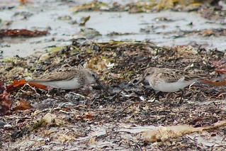 Semipalmated Sandpiper and Sanderling
