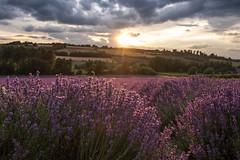 Lavender fields (vgallova) Tags: fujixe2 lavender lavenderfields purple sunset vgallova vgallovaphotography hopfarm fullbloom lovelyplace aroma farms kent england