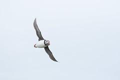 _MG_0712.jpg (helmutfaugel) Tags: schottland fairisle grosbritannien europa vogel 2016 shetland papageientaucher orte