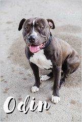 Odin (living_dead_babe) Tags: bully dog breed charity animal woof