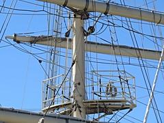 IMG_7991 Tenacious, The Crows Nest. (Boat bloke) Tags: sydney australia tallship square rigger ship timber boat wood wooden sea ocean darling harbour harbor tenacious canon sx50hs