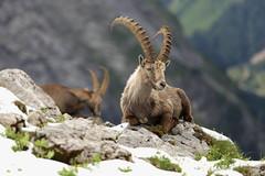Bouquetin ([Hugo Charrier]) Tags: bouquetin montagne mountain hiking randonne vanoise parc national animaux animals alpes france savoie pralognan nature sauvage