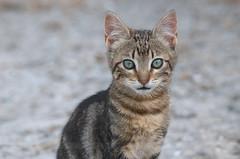 Do you like kittens? Felis catus _2708 (antarc foto) Tags: kitten felis catus gat gatet gato gatito cat katze kätzchen gatto gattino gatinho القط، والقط 小猫 猫 子猫 chat chaton feliscatus